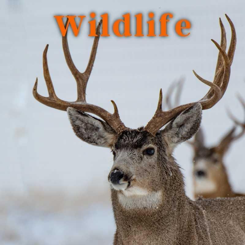 Elk, Deer, Moose, Predators, Birds, Other Game Animals